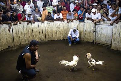 Pertunjukan Adu Judi Ayam