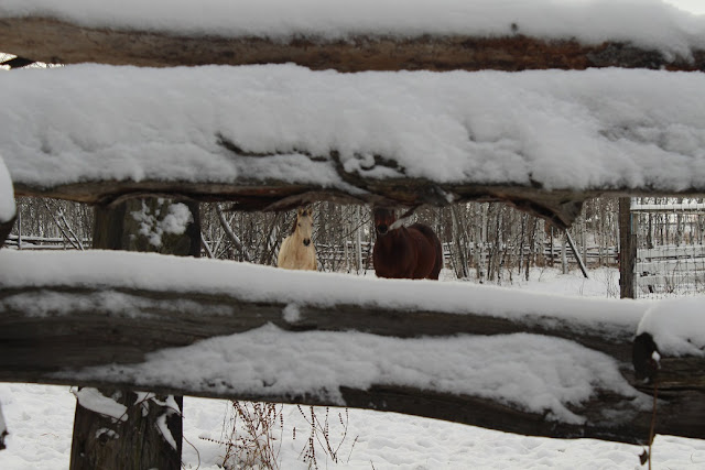 Horses through snow covered rail fence