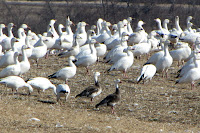 Snow Geese with blue morphs in foreground – Alexandria, ON – Apr. 2, 2010 – D. Gordon E. Robertson
