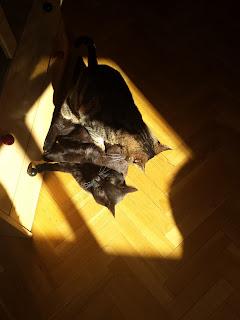 Gatos peleando por el sol