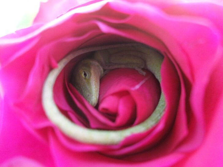 Stunning Pictures Depict A Lizard That Fell Asleep Inside A Rose
