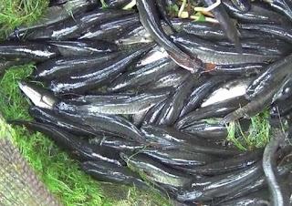 cara budidaya ikan gabus di kolam terpal,cara budidaya ikan gabus di kolam beton,cara budidaya ikan gabus pdf,cara budidaya ikan lele,ebook teknik budidaya ikan gabus,