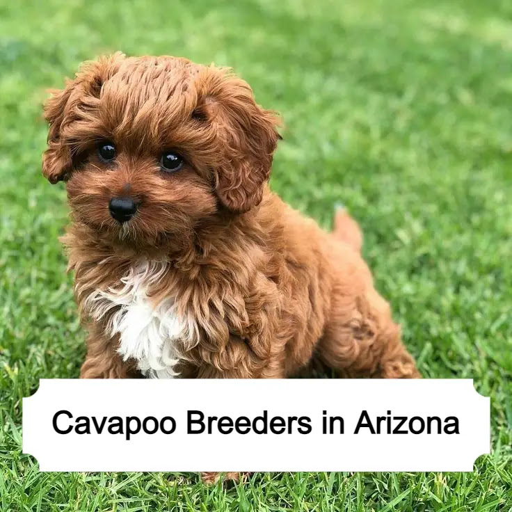 Cavapoo Breeders in Arizona