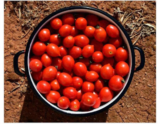 Fresh tomatoes to be used for homemade tomatoes paste