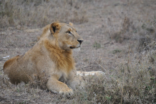 Male Lion in Nairobi National Park