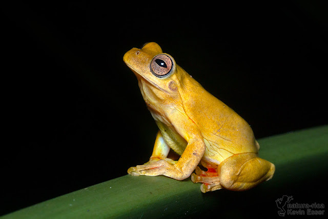 Tlalocohyla loquax - Mahogany Treefrog