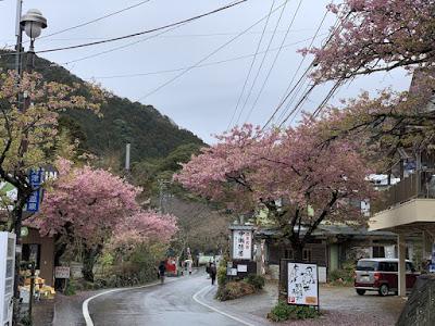 河津七滝メイン通りの河津桜