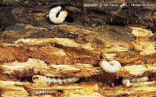 Larvas de ciervo volador en un tronco podrido