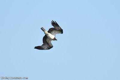 Àguila pescadora caient en picat