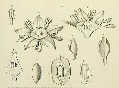 Głożyna pospolita kwiaty kwitnienie jak kwitnie owocuje zapylanie daktyl w Polsce uprawa Ziziphus jujube owocowanie hodowla pielegnacja odmiany kwiat chinskie drzewo daktylowe
