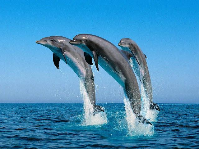 Дельфины. Человек не самое разумное существо на Земле?