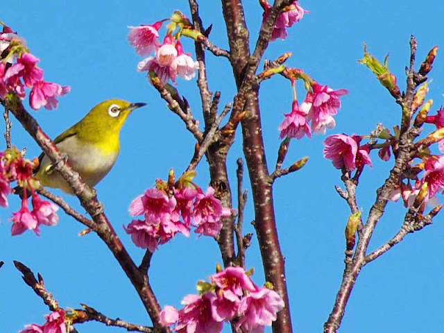 Mejiro, bird, Japanese White Eye, cherry blossoms, Kin Town, Okinawa