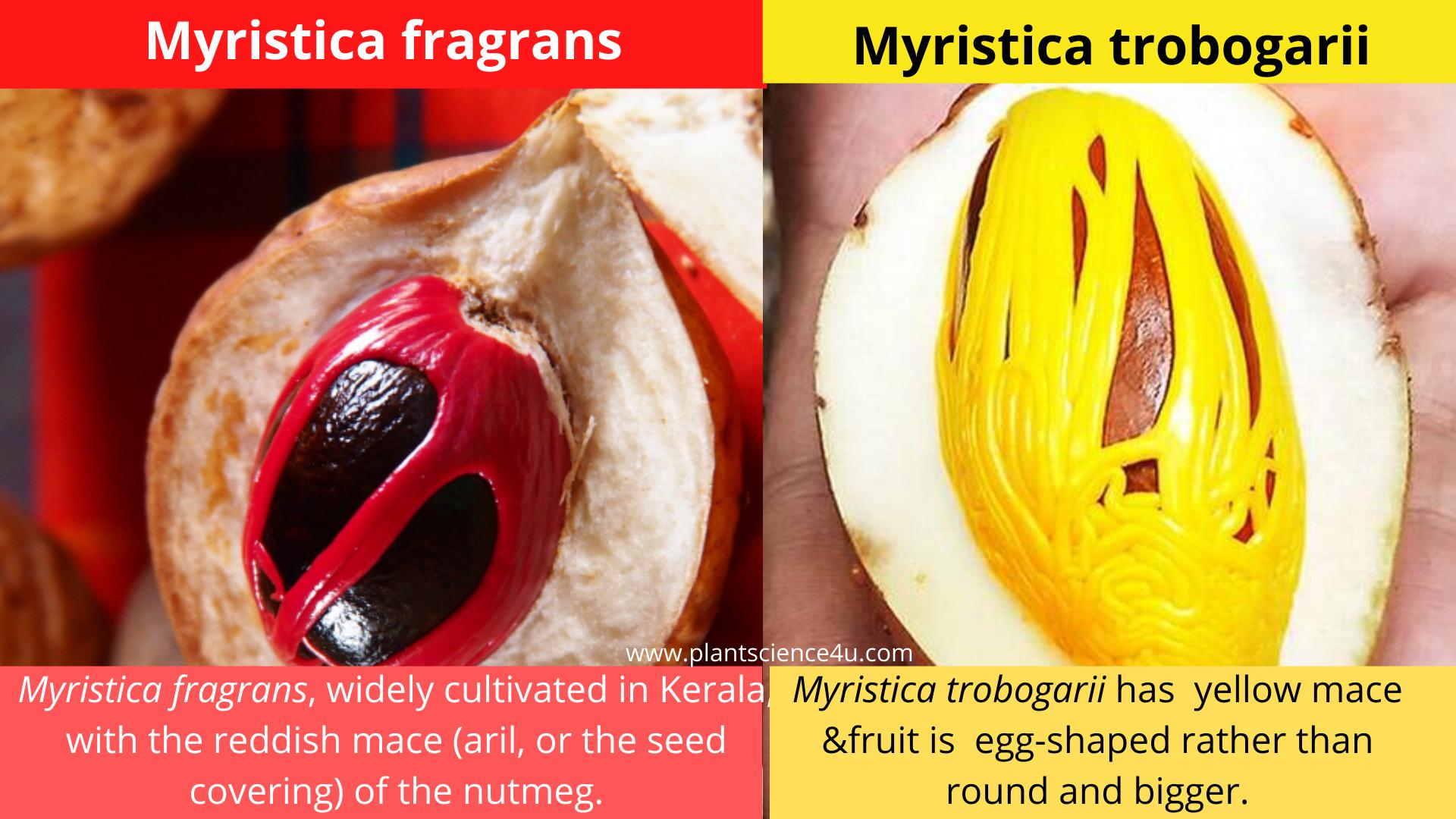 Yellow mace Nutmeg (Myristica trobogarii)