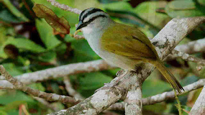 Audio Kicauan Burung Yegua/Black-Striped Sparrow