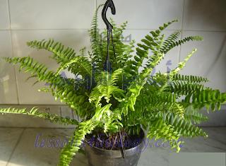 نبات الفوجير - من السراخس