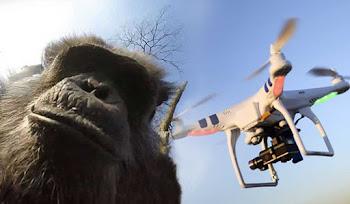 Holanda Hayvanat Bahçesindeki Şempanze Drone'a Saldırdı