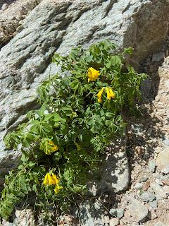 [Papaveraceae] Corydalis lutea – Rock Fumewort, Yellow Corydalis (Colombina gialla).