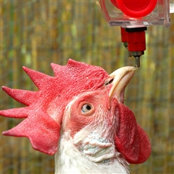 giveaway, blog giveaway, Chicken Waterer, Brite Tap,