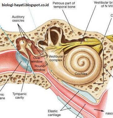Telinga dalam (labirin)