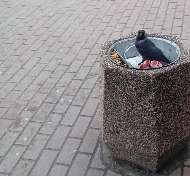 kawka, kosz na śmieci