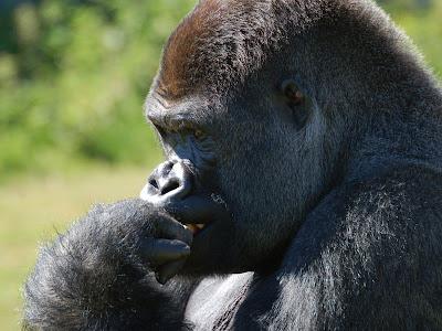 """Gorila pensando2"""