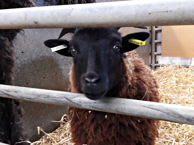 Yarndale - Daughter of a Shepherd Hebridean sheep