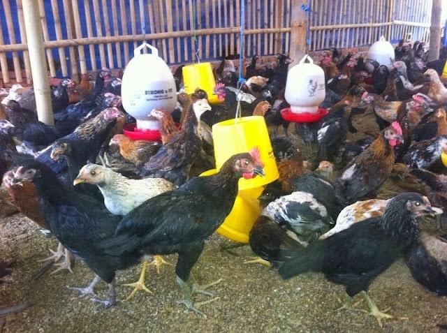 Ternak Ayam Kampung Bagi Pemula