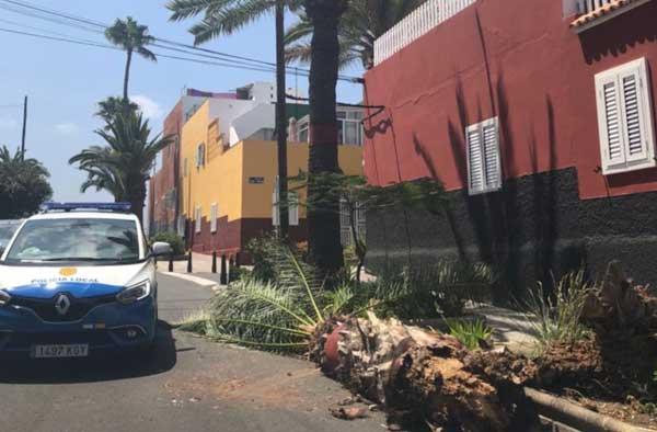 Una palmera cae en la calle Carmelo Bethencourt, Las Palmas de Gran Canaria