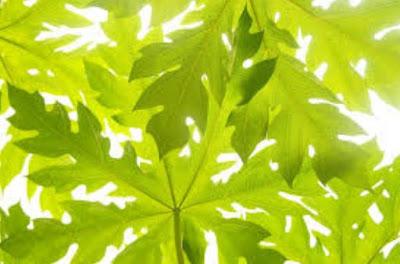 gambar Manfaat daun pepaya untuk mengobati demam berdarah