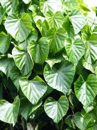 Tanaman Herbal brotowali