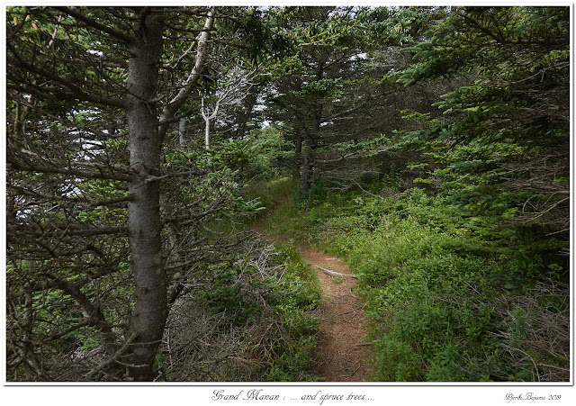 Grand Manan: ... and spruce trees...