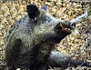 ΤΟ ΑΓΡΙΟΓΟΥΡΟΥΝΟ Βιολογία – το κυνήγι του – ορολογία – χρήσιμες συμβουλές