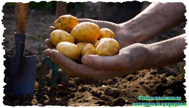 Мой эксперимент по выращиванию картофеля на глиняном участке
