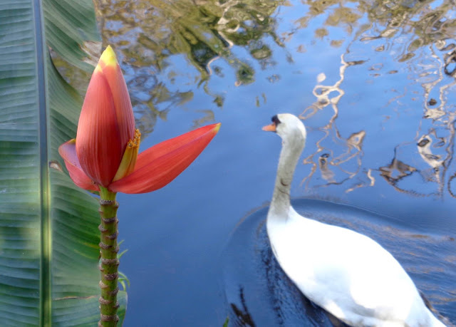 Mute Swan at Flamingo Gardens in Davie, FL