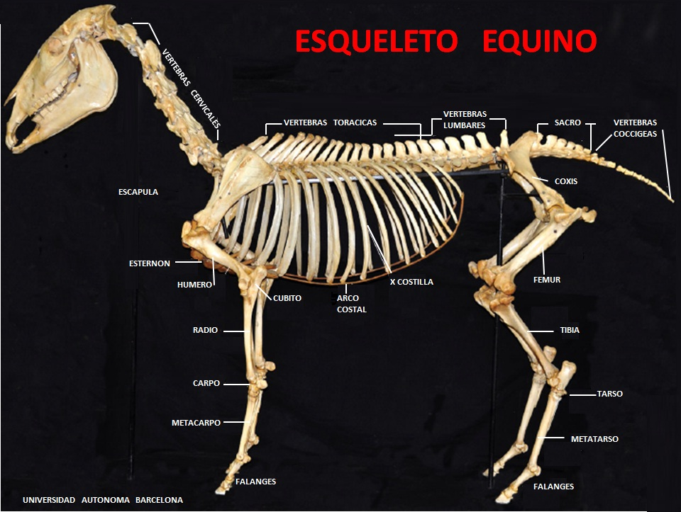 OSTEOLOGIA EQUINA PDF DOWNLOAD