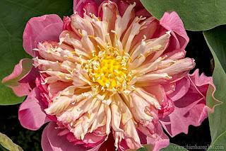 Hoa sen là biểu tượng cao quý cho phẩm cách