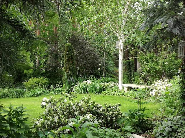 betula brzoza Doorenbos