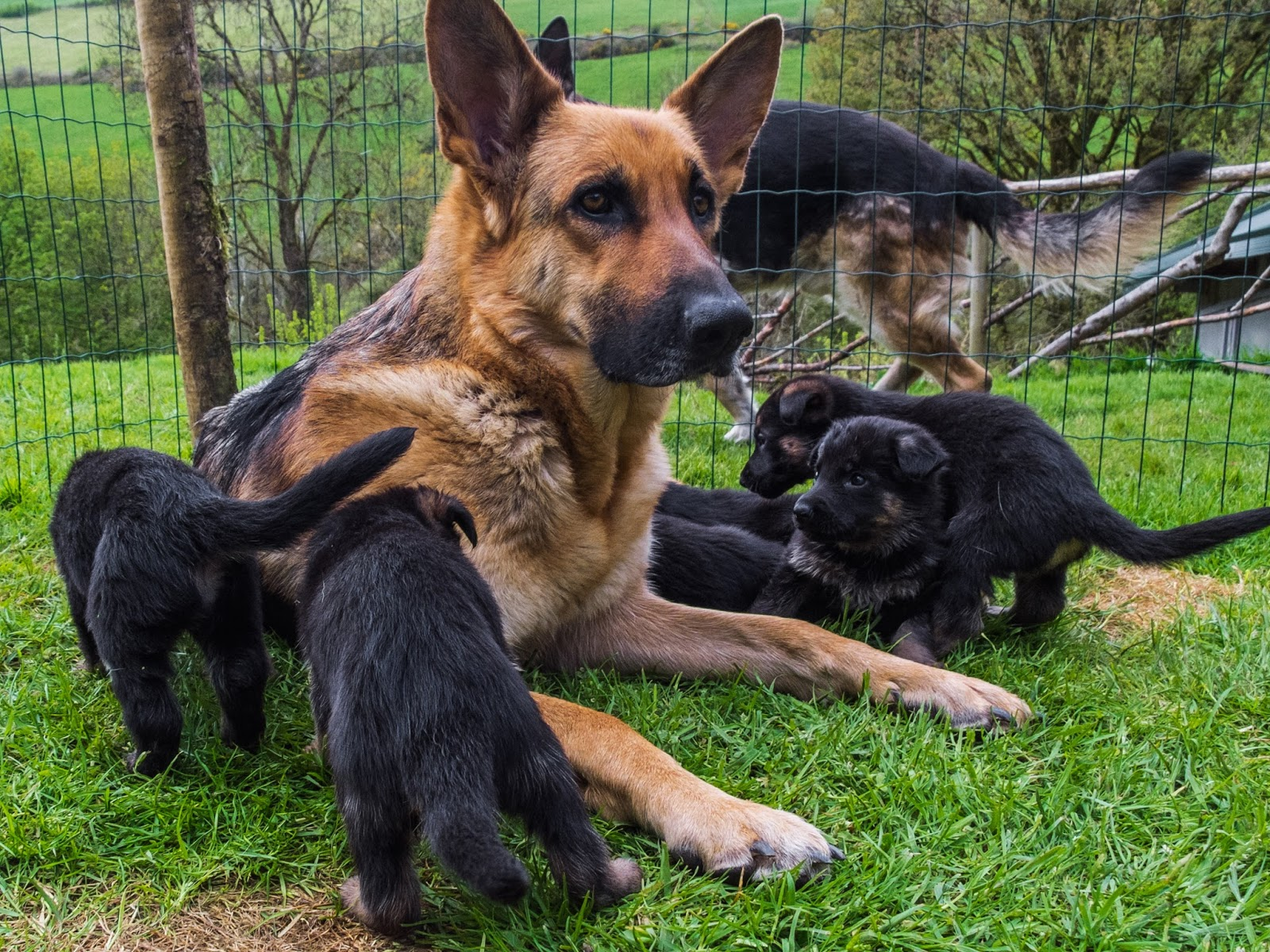 German Shepherd mom with her month old litter and dad in the background.