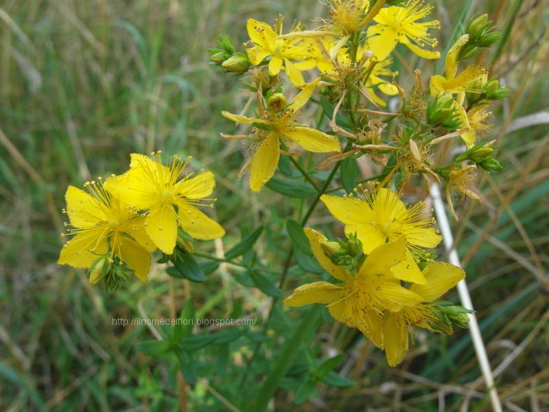 In nome dei fiori iperico fiori gialli e foglie bucherellate for Nomi fiori bianchi e gialli