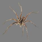 spider in spanish