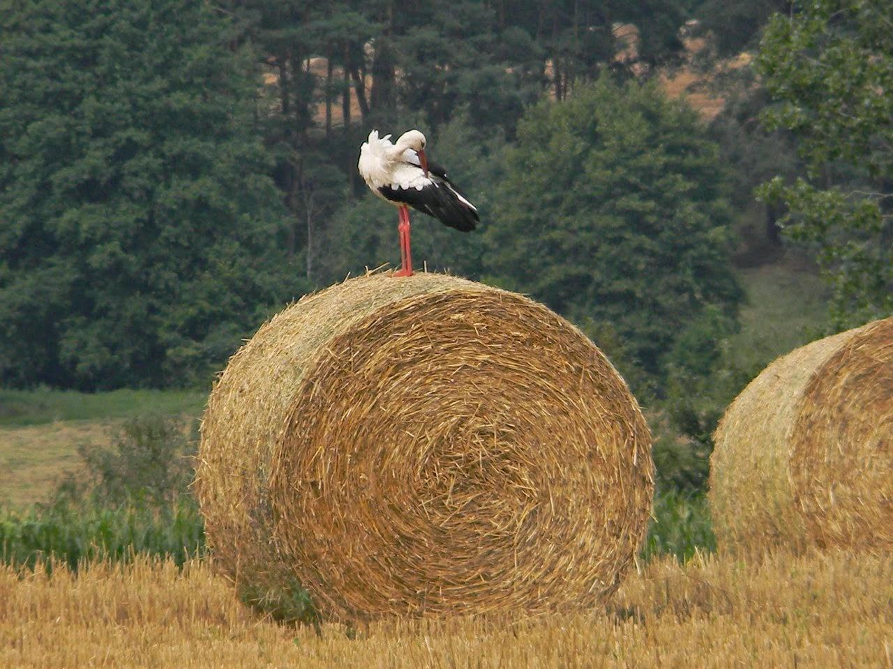 ptaki, bocian, przyroda lubuska