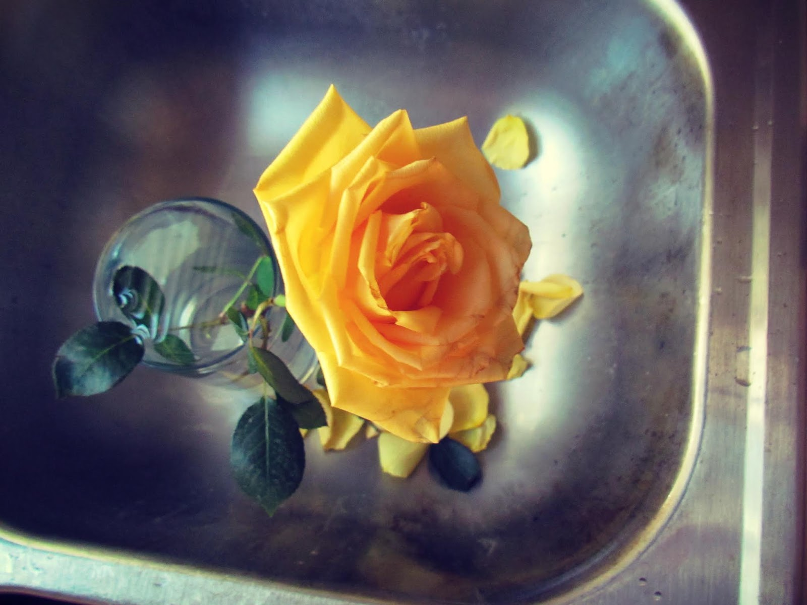A yellow rose flower in the kitchen sink with rose petals in yellow