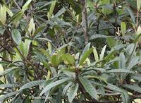 Loquats in tree - Senator Fong's Plantation and Gardens, Oahu, HI