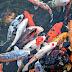 Mengenal Berbagai Macam Jenis Variant Ikan Hias Koi (Cyprinus carpio) dan Sejarahnya