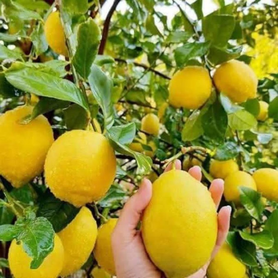 bibit jeruk lemon California lemon jumbo Tanjungbalai