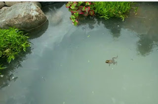 A frog for the pond!