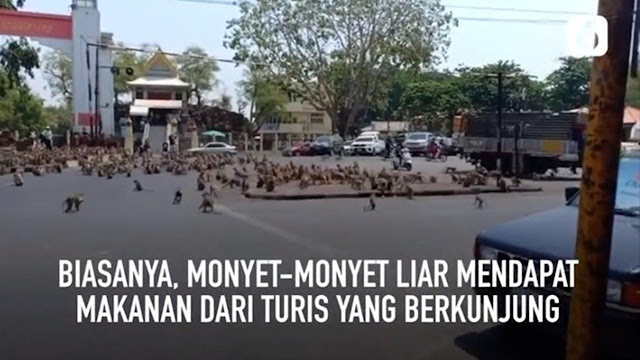 Virus Corona : Monyet Kelaparan Turun Kejalan Raya Thailand