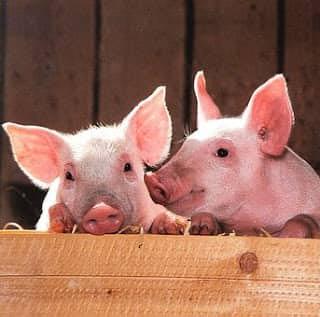 تربية الخنازير للاستخراج مادة الجيلاتين
