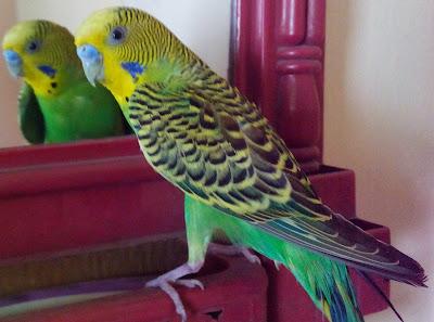budgie parrot