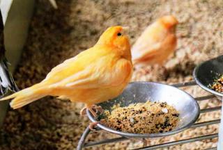 Cara Berternak Burung Kenari Yang Benar